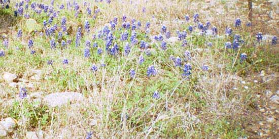 Blue Bonnets grow in the Spring